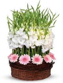 Arrangement of 30 Pink Gerberas and 40 White Gladioli nicely decorated with fillers and greens