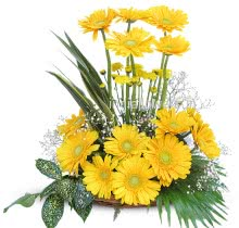 Arrangement of Bright Yellow Gerberas nicely decorated with fillers and greens
